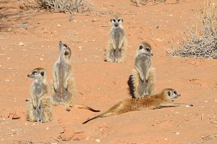 日向ぼっこをするミーアキャットの家族 カラハリトランスフロンティアパーク/南アフリカ ©山形豪