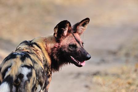 獲物を食べたばかりのリカオン サビサビ動物保護区/南アフリカ ©山形豪