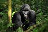 絶滅危惧種の大型類人猿全4種を撮影、前川貴行の写真展『GREAT APES 森にすむ人々』