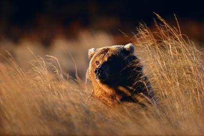 『草むらに潜むグリズリーが黄金色に輝く』 撮影:星野道夫