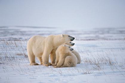 『氷の世界に生きるホッキョクグマの親子』 撮影:星野道夫