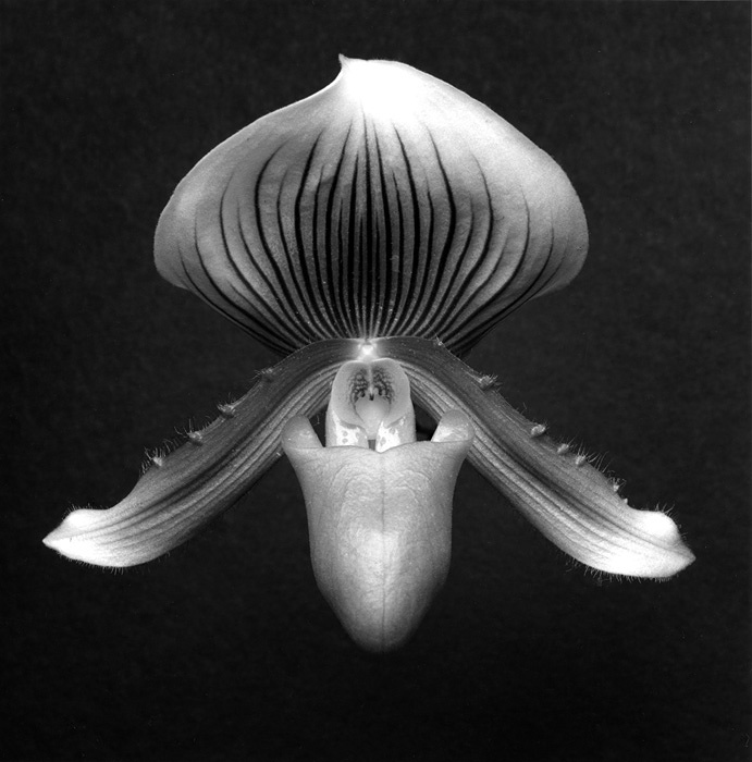 『Orchid』 1988 Gelatin Silver Print ©Robert Mapplethorpe Foundation. Used by permission.