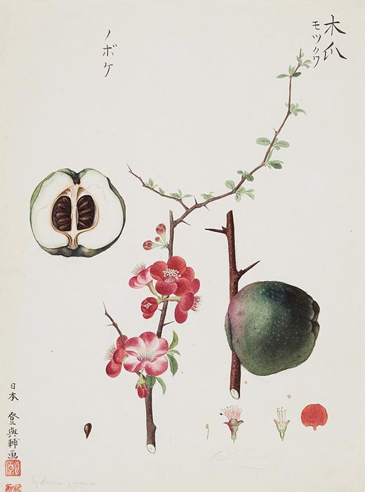川原慶賀『クサボケ』1824-1828年頃、ロシア科学アカデミー図書館蔵