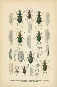 """昆虫画 エドモント・ライッター (1909) """"Fauna Germanica"""" 《オサムシ》"""