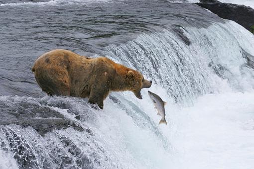 カトマイ国立公園 Brown Bears in Katmai National Park and Preserve Brown bears catch salmon in Katmai National Park and Preserve in Alaska.Courtesy of MacGillivray Freeman Films. Photographer:Brad Ohlund©VisitTheUSA.com