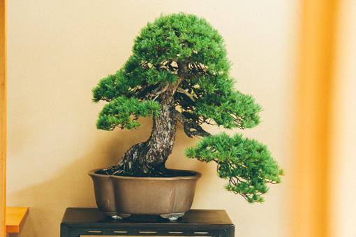 バランスよく枝が付いた盆栽