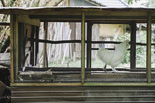 かつては10羽飼っていた烏骨鶏も、テンに襲われ、いまは1羽に