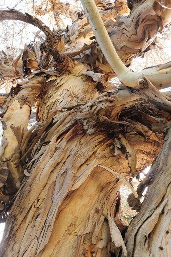 広島城跡のユーカリの木(写真提供:杉原梨江子)