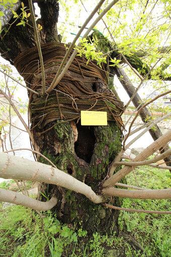 被爆したマルバヤナギの木(写真提供:杉原梨江子)