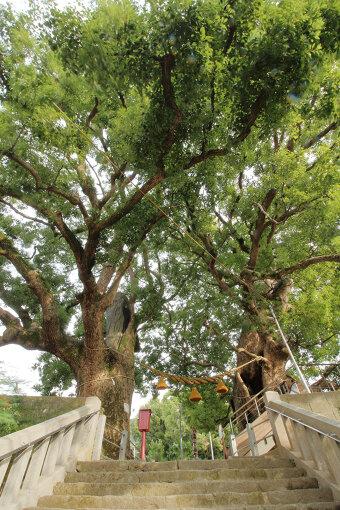 山王神社のクスノキ(写真提供:杉原梨江子)