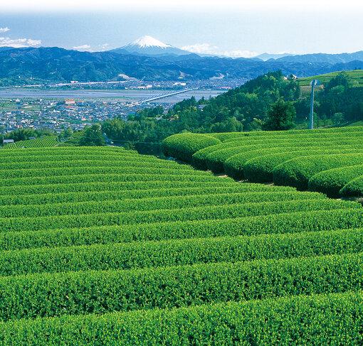 金谷から見える茶畑と富士山