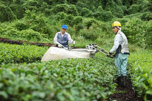 「茶草場農法」を取り入れた茶畑 / 島田市ふるさと納税特設サイトより