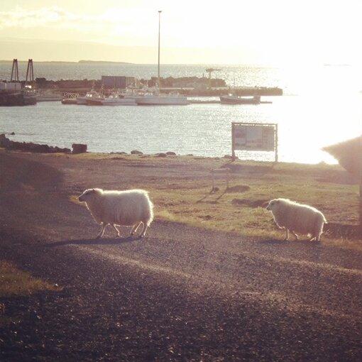 ふかわがアイスランドで撮影した羊