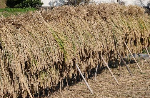 収穫のために刈り取った稲