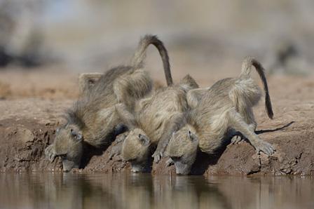 喉を潤すチャクマヒヒ マシャトゥ動物保護区/ボツワナ ©山形豪