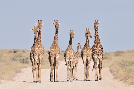 砂漠の道を行くキリンの家族 カラハリトランスフロンティアパーク/南アフリカ ©山形豪