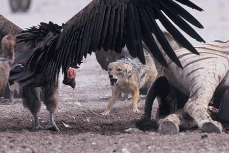 ミミヒダハゲワシに威嚇されるセグロジャッカル エトシャ国立公園/ナミビア ©山形豪