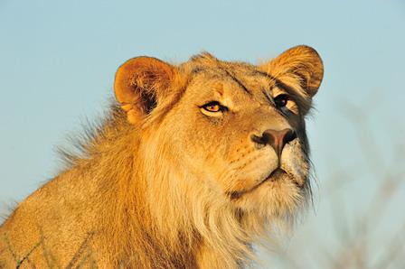 朝日を浴びるオスライオン カラハリトランスフロンティアパーク/南アフリカ ©山形豪