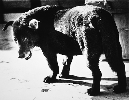 森山大道 《野良犬》 1971年 個人蔵 ©Daido Moriyama
