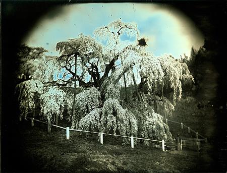 『滝桜, 三春』ダゲレオタイプ 2011 193mm × 252mm