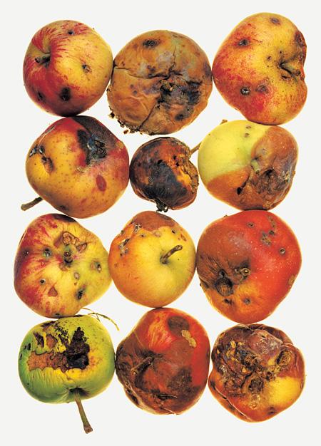 アーヴィング・ペン「12 Apples」、ニューヨーク、1985年(顔料プリント)Copyright by The Irving Penn Foundation