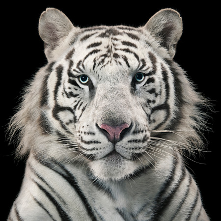Royal White Tiger ©Tim Flach