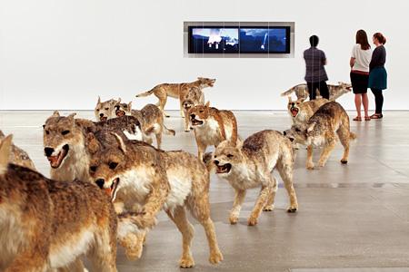 『壁撞き』2006年、狼のレプリカ(99体)・ガラス、 サイズ可変、ドイツ銀行によるコミッション・ワーク The Deutsche Bank Collection Photo by Jon Linkins, courtesy: Queensland Art Gallery | Gallery of Modern Art