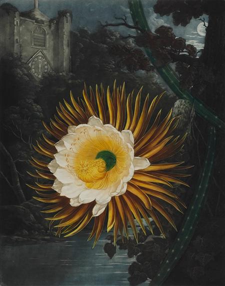 R.J.ソーントン『フローラの神殿:リンネの雌雄蕊分類法新図解』より「夜の女王」 1800 年 メゾチント、一部手彩色 町田市立国際版画美術館
