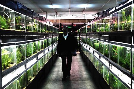 『冷たい熱帯魚』©NIKKATSU