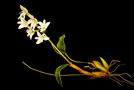 クリス・チョン・チャン・フイ『END74 Pholidota sigmatochilus』「固有種」シリーズより、2015年