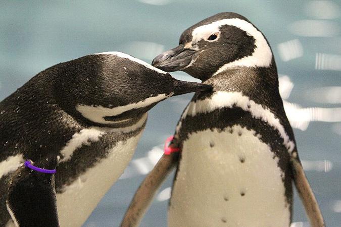 ペンギンのカップル