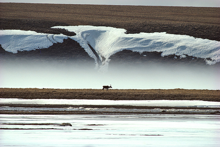 『雪解けのツンドラをさまようカリブー』 撮影:星野道夫