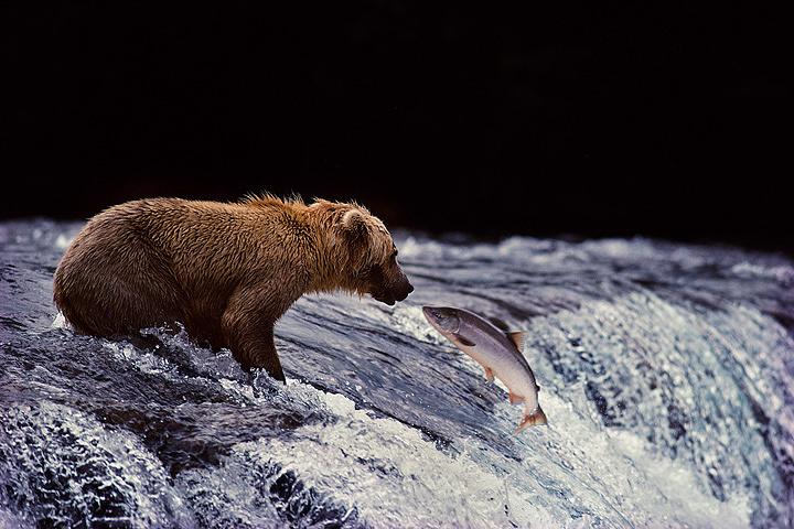 『滝を越え遡上してきたサケとグリズリー』 撮影:星野道夫