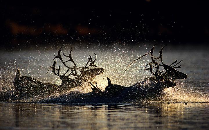 『夕暮れの極北の河を渡るカリブー』 撮影:星野道夫