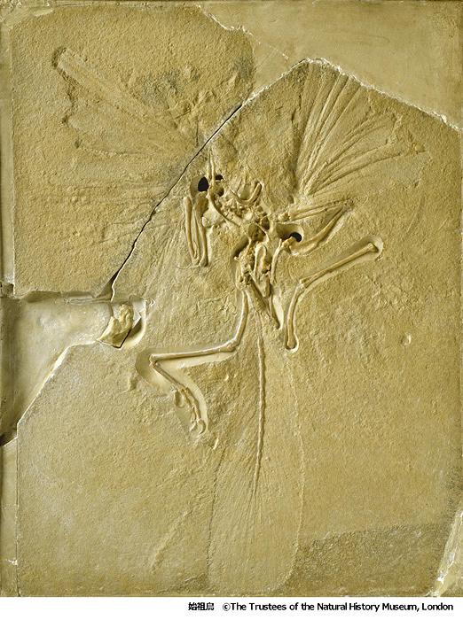 始祖鳥 ©The Trustees of the Natural History Museum, London