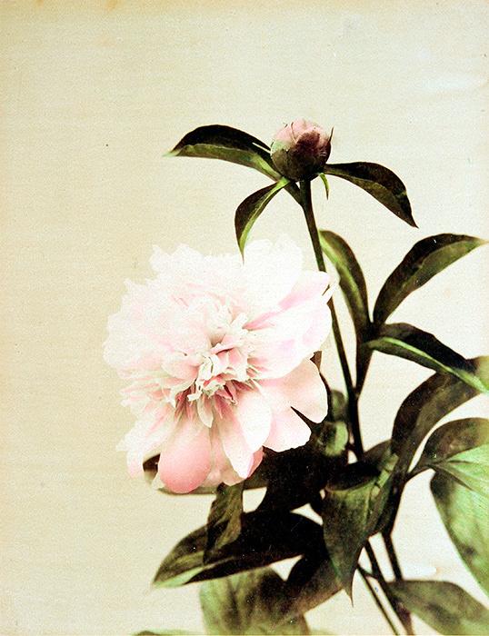 金幣写真館(日下部金兵衛)『ツバキ』1880~90年代 鶏卵紙に手彩色 ©MNAAG.