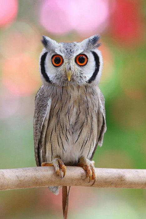 アフリカオオコノハズク(擬態前) 写真提供:掛川花鳥園