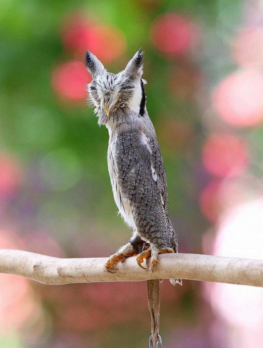 アフリカオオコノハズク(擬態後) 写真提供:掛川花鳥園