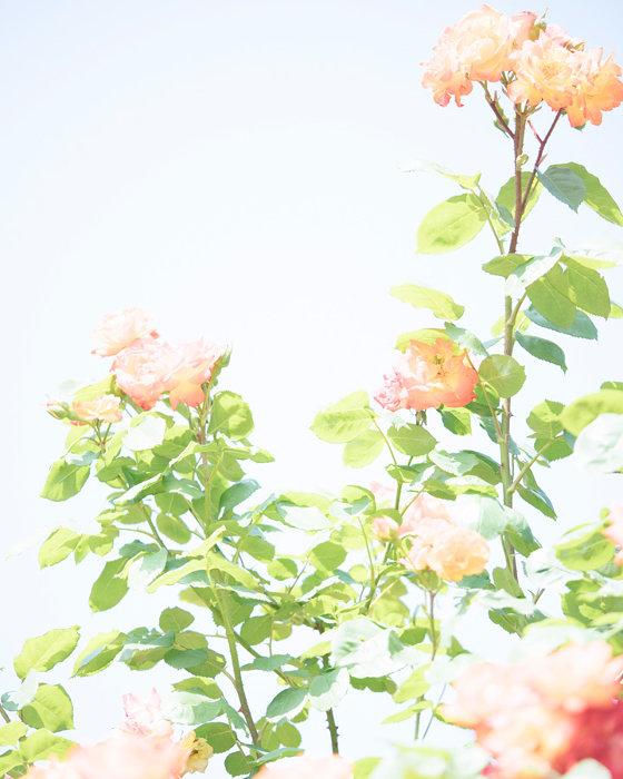 『roses』2 BLIGHT,pigment ink print,420×297mm,2019