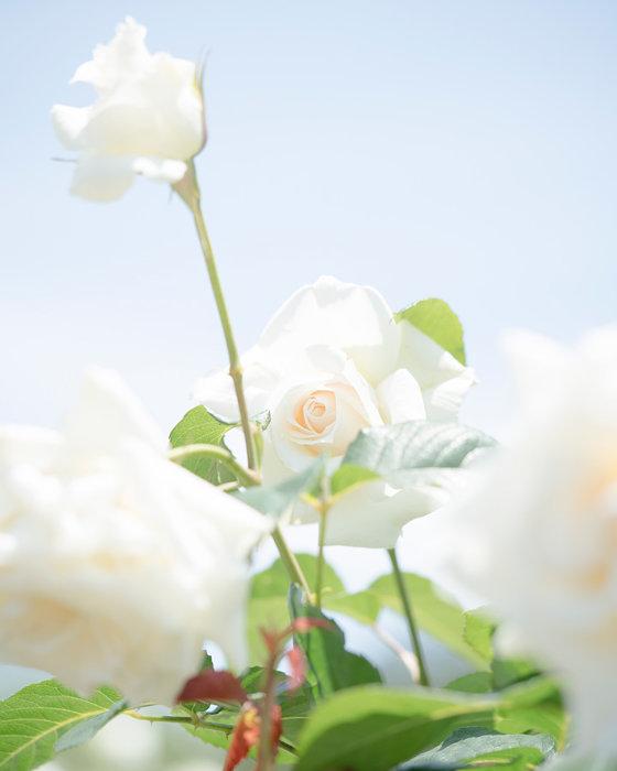 『roses』3 BLIGHT,pigment ink print,420×297mm,2019