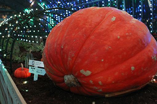 ハウスの中央に置かれた大きなかぼちゃ。触れると光や音が作動する 撮影:井戸沼紀美